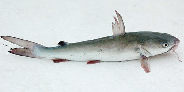 Frozen- Cutting Sea Catfish 550 g